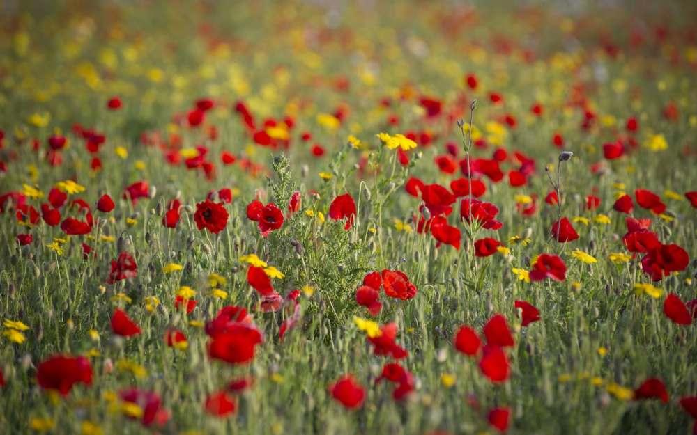 Poppy-field-National-Trust-